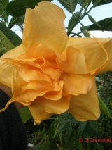Brugmansia Ds Sublime