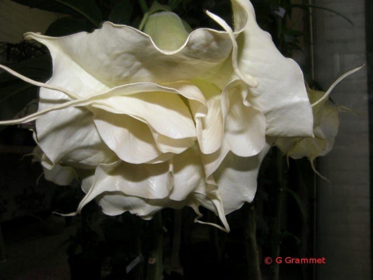 Brugmansia Angels Delight