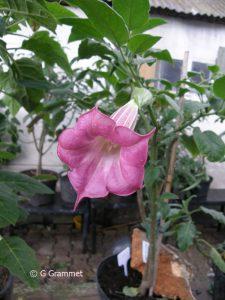 Brugmansia sphaerocarpium