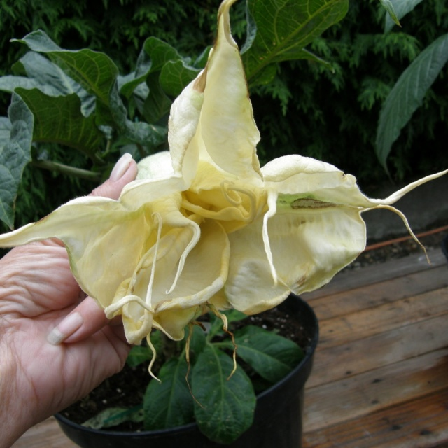Brugmansia Big Jim