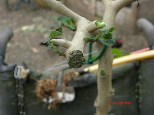 brugmansia