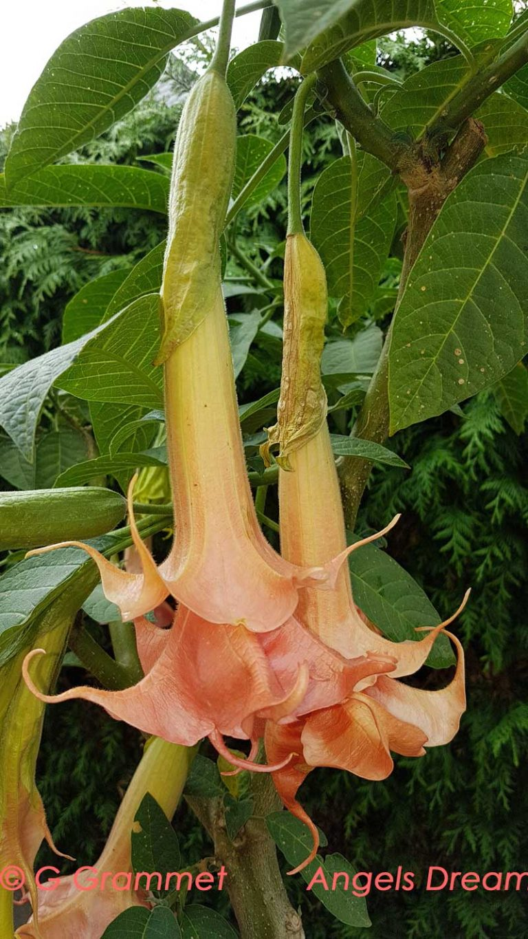Brugmansia Angel Dream