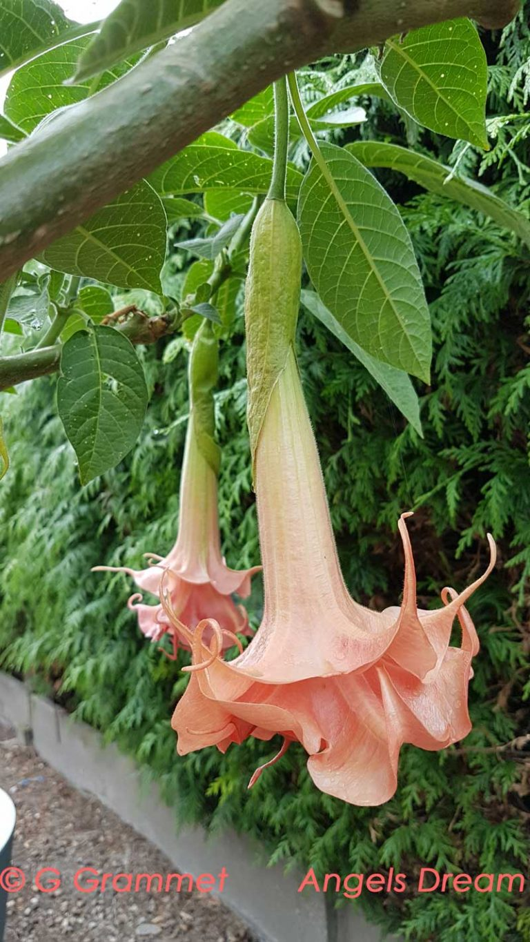 brugmansia angels dream